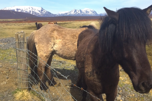 Horse-in-Iceland